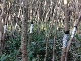 茎流(液流)测量系统助力中国香港米埔红树林自然保护区研究